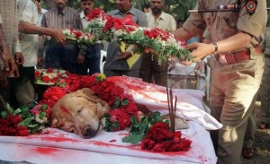 Zanjeer the dog saved thousands of lives during Mumbai serial blasts in March 1993 by detecting more than 3,329 kgs of the explosive RDX, 600 detonators, 249 hand grenades and 6406 rounds of live ammunition. He was buried with full honors in 2000