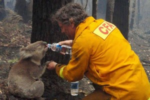 Firefighter helps a koala during Black Saturday bushfires by giving it some water.